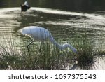 great white egret foraging in a ... | Shutterstock . vector #1097375543