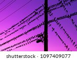 Group of grackles (also called Maria mulata or zanate) sitting on electric cables against a dark purple sky