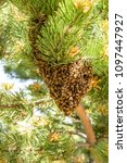Small photo of Bee swarm in a pine tree, spring in Colorado, USA