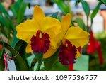 hybrid orchid petal white... | Shutterstock . vector #1097536757