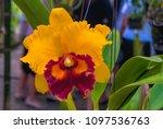 hybrid orchid petal white... | Shutterstock . vector #1097536763