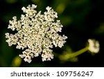 Wild Carrot Flower   Daucus...