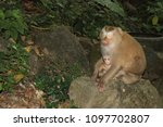 monkey in the wild | Shutterstock . vector #1097702807