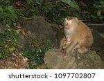 monkey in the wild | Shutterstock . vector #1097702807