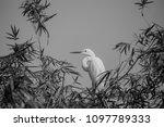 great egret    ardea alba   ... | Shutterstock . vector #1097789333
