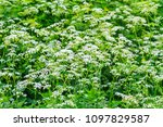juicy spring greens and white... | Shutterstock . vector #1097829587