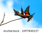 fight of colored birds on the... | Shutterstock . vector #1097830157