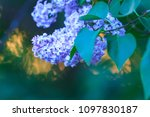 lilac flowers at dusk | Shutterstock . vector #1097830187