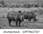 white rhino in kruger national... | Shutterstock . vector #1097862767