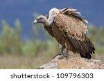 estremadura  griffon vulture in ...