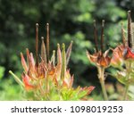 Small photo of Carolina Crane's Bill (Carolina geranium) with dark vertical bills in small field