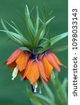 beautiful orange crown imperial ... | Shutterstock . vector #1098033143