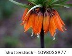 beautiful orange crown imperial ... | Shutterstock . vector #1098033977