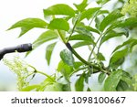 fighting a bunch of aphids on a ... | Shutterstock . vector #1098100667