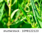 Small photo of Blue odonata perched on aquatic plant