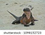 a closeup of an iguana on allen'... | Shutterstock . vector #1098152723