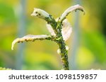the flock of small black aphids ... | Shutterstock . vector #1098159857