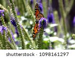 monarch butterfly with salvia | Shutterstock . vector #1098161297
