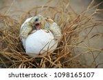 Close Up Baby Tortoise Hatchin...