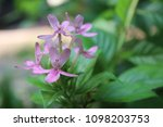 the beauty of pink orchid...   Shutterstock . vector #1098203753