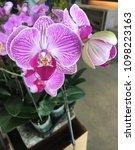 pink streaked orchid flower on...   Shutterstock . vector #1098223163