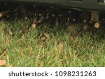 Small photo of Core aeration of tall fescue with ride-on aerator