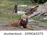 homeless stray dog at illegal... | Shutterstock . vector #1098265373