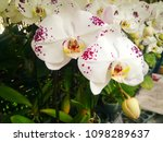 white orchid with purple spots.   Shutterstock . vector #1098289637