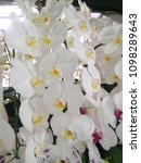 white orchid with purple spots.   Shutterstock . vector #1098289643
