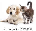 Labrador puppy and kitten breeds Maine Coon, Cat and dog - stock photo