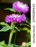 Small photo of Purple flower of Persian cornflower (Centaurea dealbata)
