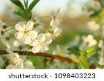 beautiful blossoming tree...   Shutterstock . vector #1098403223
