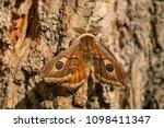 emperor moth   saturnia pavonia ... | Shutterstock . vector #1098411347