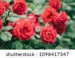 red rose in garden | Shutterstock . vector #1098417347