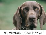german pointer dog portrait | Shutterstock . vector #1098419573