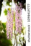 the bloom orchids in the garden ...   Shutterstock . vector #1098419777