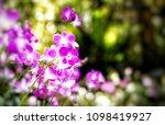 the bloom orchids in the garden ...   Shutterstock . vector #1098419927