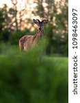 solitary red deer stag with... | Shutterstock . vector #1098463097