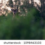 solitary red deer stag with... | Shutterstock . vector #1098463103