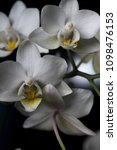 small white orchid flowers   Shutterstock . vector #1098476153
