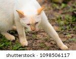 cute white cat  outdoors   Shutterstock . vector #1098506117