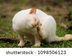 cute white cat  outdoors   Shutterstock . vector #1098506123
