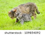 mother cat watching small gray kitten - stock photo