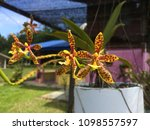 borneo wild orchid or sabah...   Shutterstock . vector #1098557597