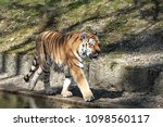 siberian amur tiger in the zoo  ... | Shutterstock . vector #1098560117
