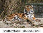 siberian amur tiger in the zoo  ... | Shutterstock . vector #1098560123