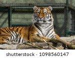 siberian amur tiger in the zoo  ... | Shutterstock . vector #1098560147