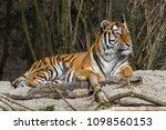siberian amur tiger in the zoo  ... | Shutterstock . vector #1098560153