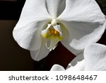 a white orchid bloom against a...   Shutterstock . vector #1098648467