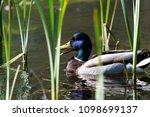 mallard duck swimming on lake   Shutterstock . vector #1098699137